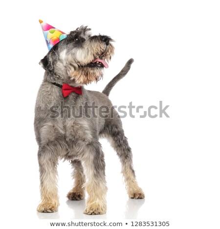 Singolare schnauzer compleanno Hat Foto d'archivio © feedough