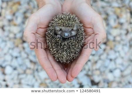 human hand petting and holding cute hedgehog Stock photo © feedough