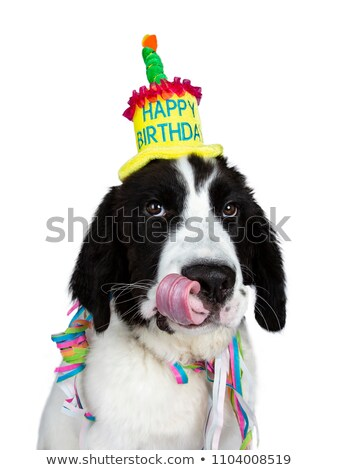 Funny head shot of black and white Landseer pup dog, isolated on white background. Stock photo © CatchyImages