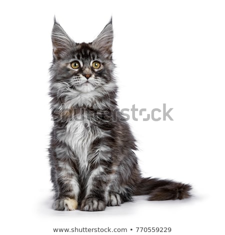 tortie multi colored maine coon kitten cat sitting facing front isolated on white background stock photo © catchyimages