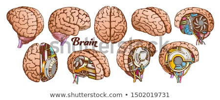 color brain set collection in different views vector stock photo © pikepicture