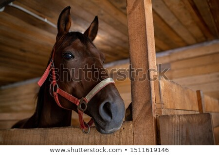 Head of young brown purebred racehorse standing in front of camera inside barn Stock photo © pressmaster