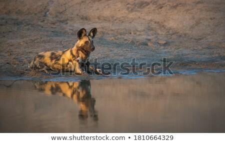 アフリカ 犬 座って 砂 公園 ストックフォト © simoneeman