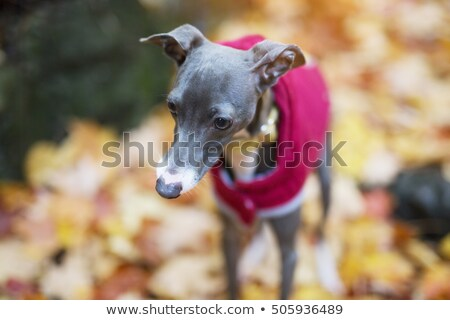 Portrait of nice italian greyhound in autumn season Stock photo © Lopolo
