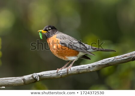 Stock photo: Baby Robins in a nest
