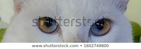 кошки глаза кошек животного посмотреть Сток-фото © fxegs