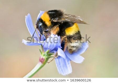 close up of bumble bee Stock photo © gewoldi