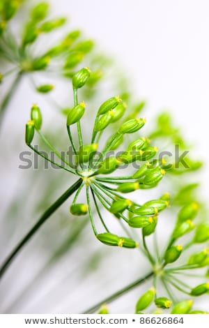 Fragile Dill umbels Stock photo © nailiaschwarz