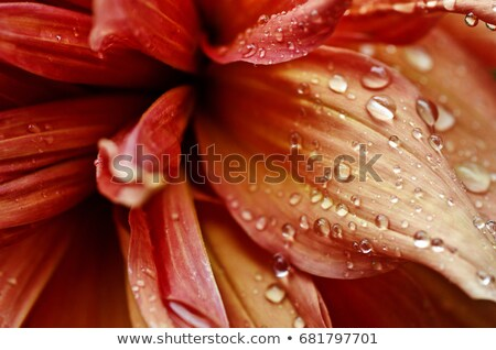 Flower petals with dew drops Stock photo © mahout