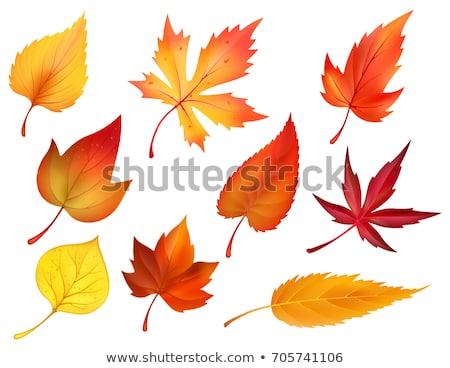 Outono folha álamo isolado branco Foto stock © Givaga