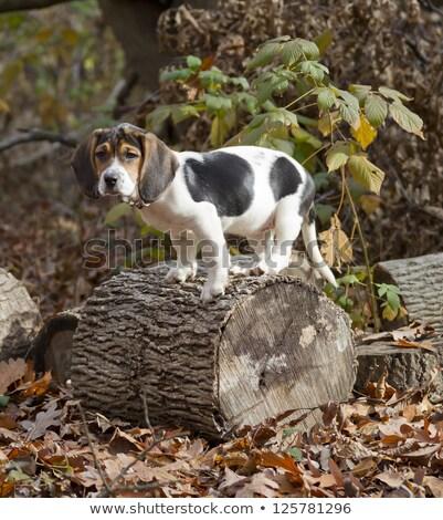 ビーグル 子犬 座って 葉 悲しい 目 ストックフォト © mybaitshop