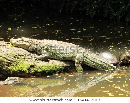 amerikan · timsah · yüzme · gündoğumu · su - stok fotoğraf © raptorcaptor