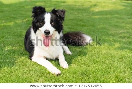 ボーダーコリー 犬 公園 芝生 座って 草 ストックフォト © eldadcarin
