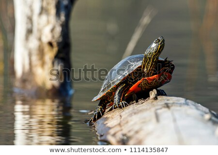 Painted Turtle Reflected in Water Stock photo © rhamm