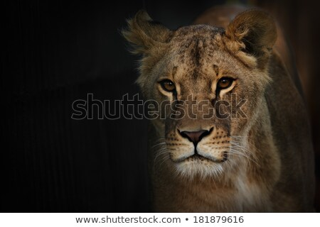 Lions with reflection over water Stock photo © TanArt