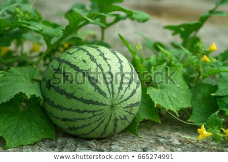 crescente · campo · agrícola · videira · colheita · delicioso - foto stock © hd_premium_shots
