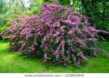 weigela shrub stock photo © efischen
