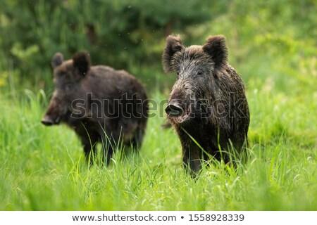 javali · naturalismo · ambiente · porco - foto stock © arrxxx