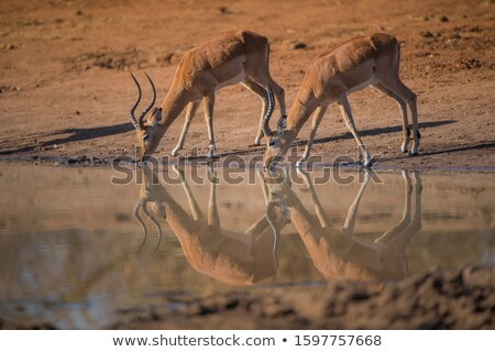 kudu antelope drinking stock photo © ecopic