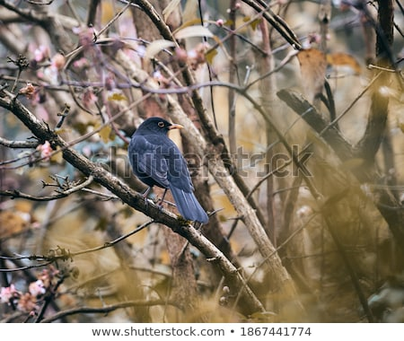 Single blackbird Stock photo © jenbray