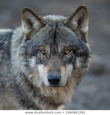 head of wolf Stock photo © perysty