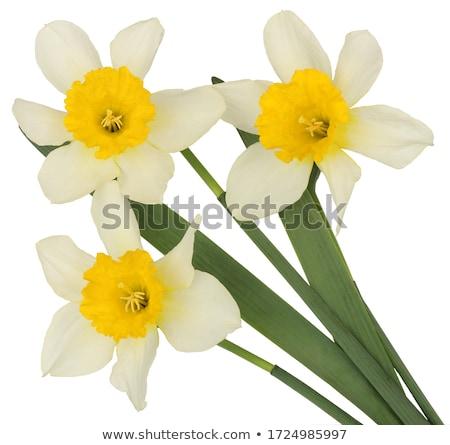 closeup beautiful white narcissus bouquet stock photo © moravska