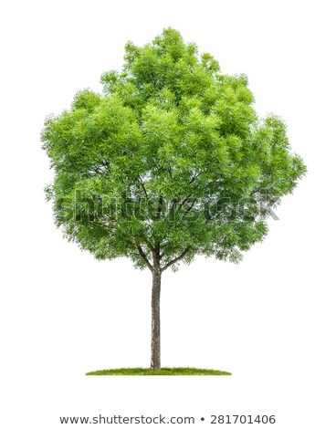 isolated narrow leafed ash tree on a white background stock photo © zerbor