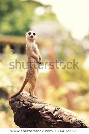 Meerkat (Surikate) Stock photo © chris2766