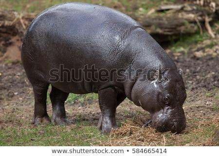 pygmy hippopotamus choeropsis liberiensis stock photo © chris2766