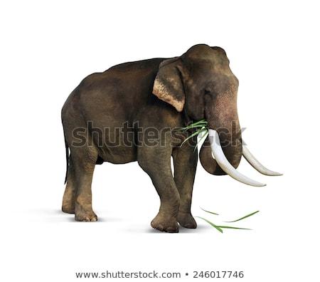 indian elephant eating stock photo © mikko