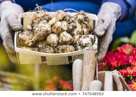 basket of jerusalem artichoke stock photo © klinker
