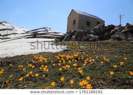 луговой первый весны Крокус цветы Сток-фото © Kotenko