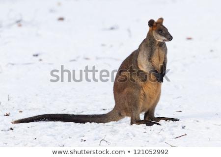 mocsár · ül · bokor · sziget · fű · kenguru - stock fotó © dirkr