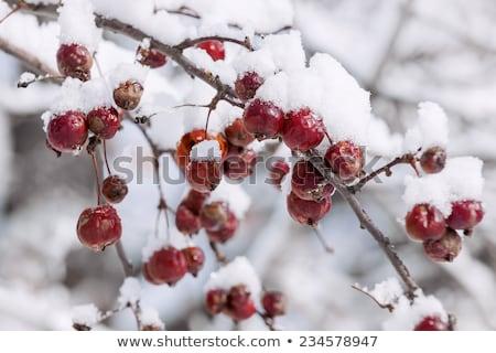 gelado · ramo · caranguejo · maçãs · três · vermelho - foto stock © elenaphoto