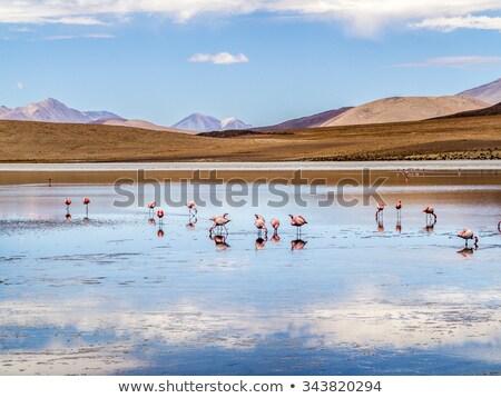 Stock photo: Pink flamingos in wild nature of Bolivia, Eduardo Avaroa Nationa