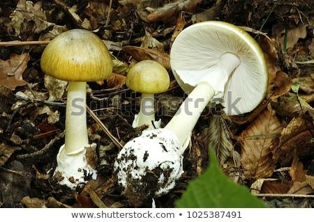 otono · seta · venenosa · venenoso · setas · forestales · luz - foto stock © digoarpi