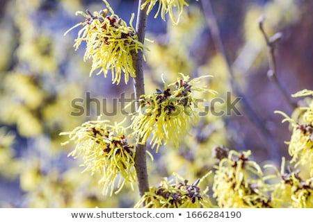 witch hazel hamamelis is a genus of winter flowering plants stock photo © alessandrozocc