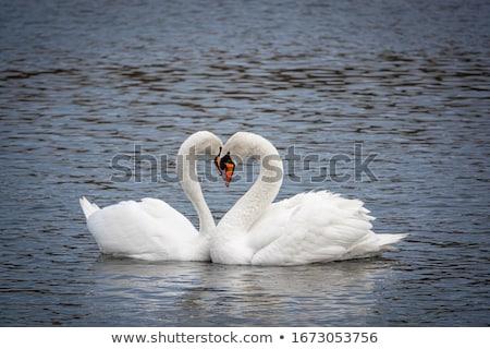 Iki sevmek doğa kuş beyaz kuğu Stok fotoğraf © MilanMarkovic78