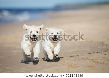 Due cani golden retriever divertimento eseguire estate Foto d'archivio © goroshnikova