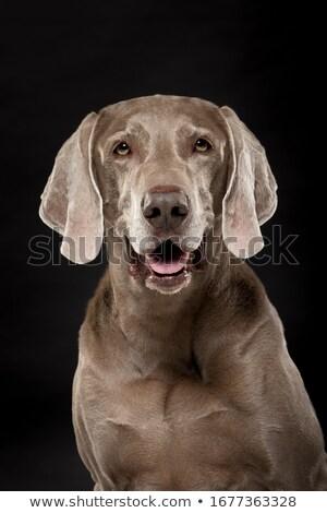 собака · портрет · белый · счастливым · красоту · золото - Сток-фото © vauvau