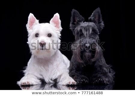 Kettő nyugat terrier sötét stúdió szépség Stock fotó © vauvau