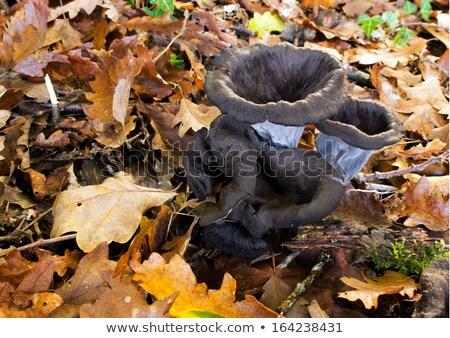 Clump Black Chanterelle Mushroom, Craterellus Cornucopioides Stock photo © Qingwa