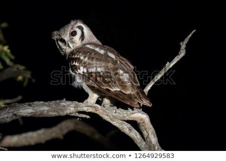 Verreaux eagle owl in the tree. Stock photo © simoneeman