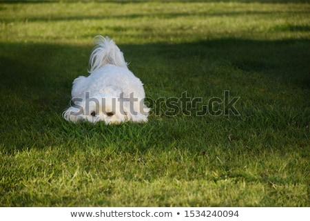Bella cane piedi due isolato Foto d'archivio © svetography