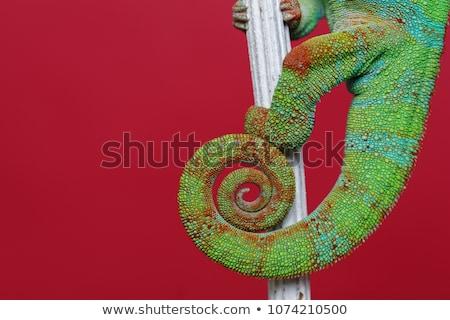 カメレオン は虫類 女性 手 ストックフォト © svetography