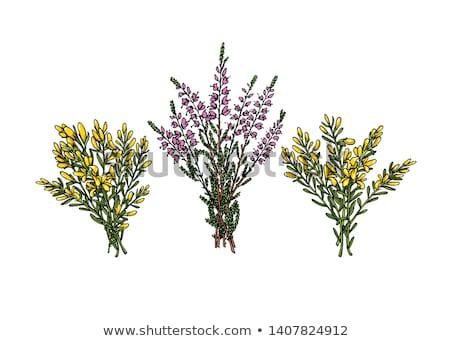 heather flowers growing on meadow stock photo © konradbak
