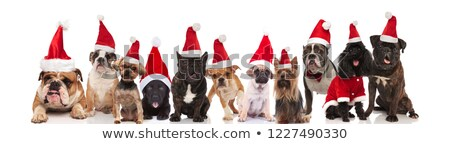many cute dogs of different breeds dressed as santa claus Stock photo © feedough
