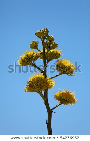 Plantas cacto deserto membro agave família Foto stock © backyardproductions