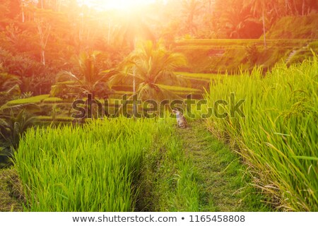 cat on green cascade rice field plantation at tegalalang terrace bali indonesia stock photo © galitskaya