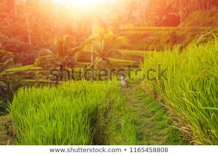 Gato verde arrozal plantação terraço Foto stock © galitskaya